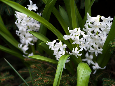 Close-up of hyacinth flowers, Beacon Hill Park, Fairfield, Victoria, British Columbia, Canada