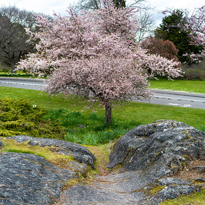 Cherry blossom tree in Beacon Hill Park, Fairfield, Victoria, British Columbia, Canada