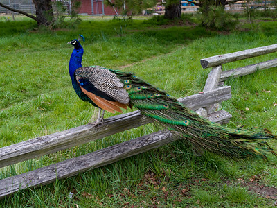 Peacock perching on a wooden fence, Beacon Hill Park, Fairfield, Victoria, British Columbia, Canada