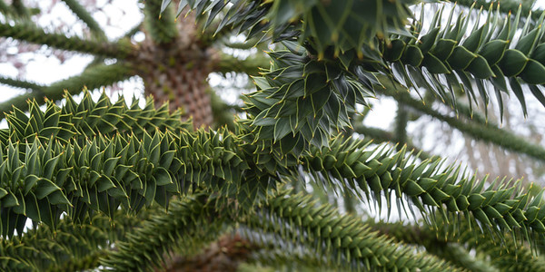 Close up of Monkey Puzzle Tree (Araucaria araucana), Beacon Hill Park, Victoria, British Columbia, Canada