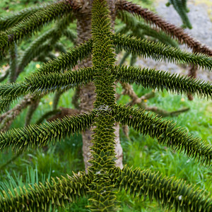Monkey Puzzle Tree (Araucaria araucana), Beacon Hill Park, Victoria, British Columbia, Canada