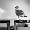 Close-up of a seagull, Furry Creek, British Columbia, Canada