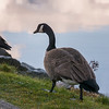 Close-up of Canada Goose (Branta canadensis), Furry Creek, British Columbia, Canada