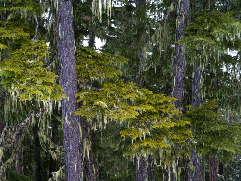 Pine trees in forest, Whistler, British Columbia, Canada
