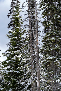 Snow covered pine trees in winter, Whistler, British Columbia, Canada