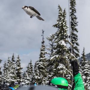 Bird flying over skier at ski resort, Whistler, British Columbia, Canada