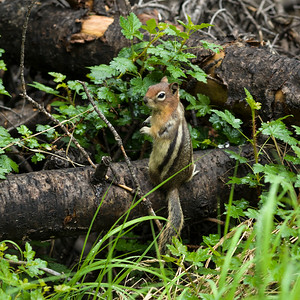 Chipmunk on fallen tree trunk, Lake Louise, Banff National Park, Alberta, Canada