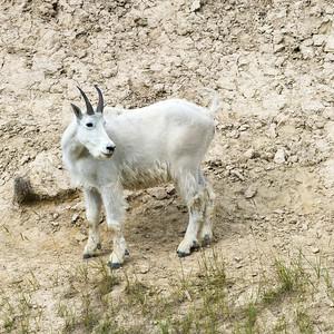 Mountain goat�(Oreamnos americanus), Maligne Lake, Maligne Canyon, Jasper National Park, Jasper, Canada