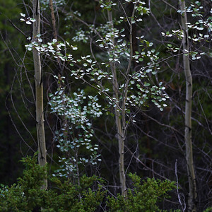 Trees in forest, Saskatchewan River Crossing, Icefields Parkway, Jasper, Alberta, Canada