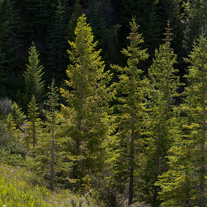Pine trees in forest, David Thompson Highway, Clearwater County, Alberta, Canada