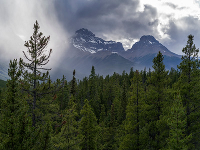 Pine trees with mountain in the background, Saskatchewan River Crossing, Icefields Parkway, Jasper, Alberta, Canada