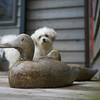 Wooden duck with a Zuchon puppy in the background, Kenora, Lake of The Woods, Ontario, Canada
