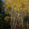 Trees in a forest, Kenora, Lake of The Woods, Ontario, Canada