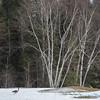 Canada Goose walking in a snow covered landscape, Riverton, Hecla Grindstone Provincial Park, Manitoba, Canada