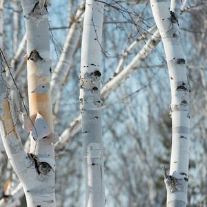 Closeup of trees, Riverton, Hecla Grindstone Provincial Park, Manitoba, Canada
