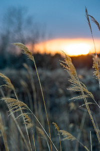 Closeup of reeds at sunset, Hecla Grindstone Provincial Park, Manitoba, Canada