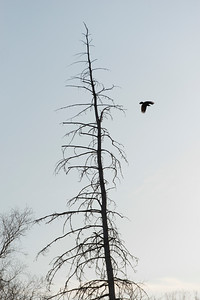 Bird flying over a bare tree, Hecla Grindstone Provincial Park, Manitoba, Canada