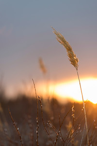 Closeup of reeds at sunset, Riverton, Hecla Grindstone Provincial Park, Manitoba, Canada