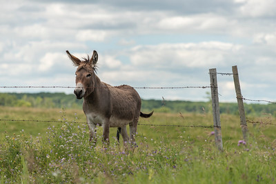 Donkey standing in a field, Lake Audy Campground, Riding Mountain National Park, Manitoba, Canada