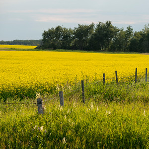 Crop in a field, Erickson, Riding Mountain National Park, Manitoba, Canada