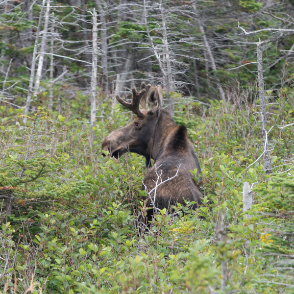 Moose (Alces Alces) standing in a forest, Gros Morne National Park, Newfoundland and Labrador, Canada