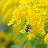 Honeybee on yellow flowers, North Rustico, Prince Edward Island, Canada