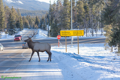 Elk Crossing Dangerous Intersection in Jasper