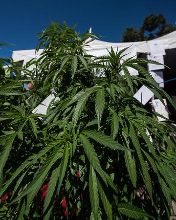 Cannabis Cup Sonoma - Jun'14