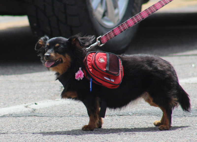 A four-legged parade member walks along Saturday through the 2017 Blossom Festival Parade.