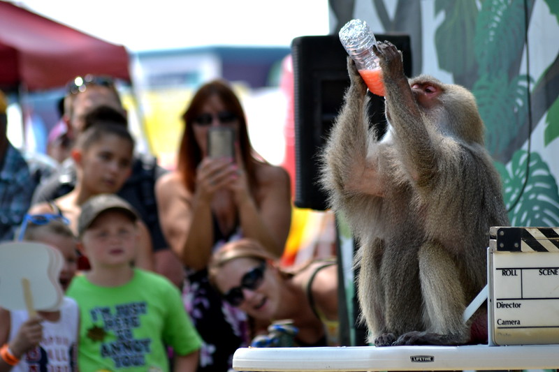 A baboon Saturday during the 'Wild about Monkeys' performance at the Colorado State Fair in Pueblo.