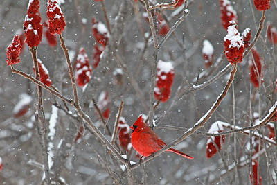 CARDINALS  IN  SUMAC  WITH SNOW