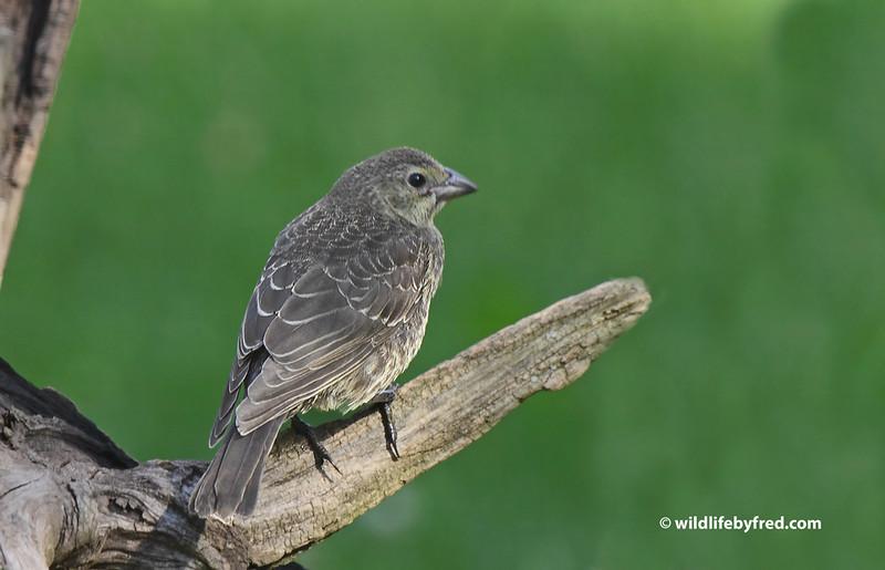 Juvenile Brown Headed Cowbird