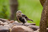 BROWN HEADED COWBIRD (JUVENILE)