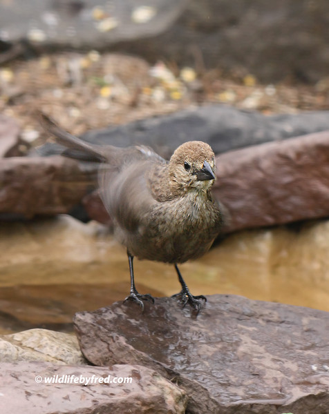 Juvenile Brownheaded Cowbird