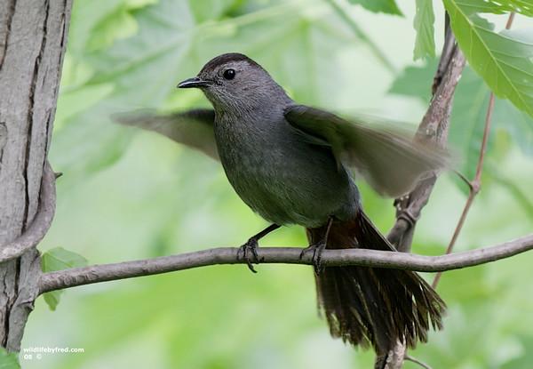 Gray Catbird protecting her nest.