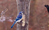 BLUE JAY BEING INVADED BY EUROPEAN STARLING