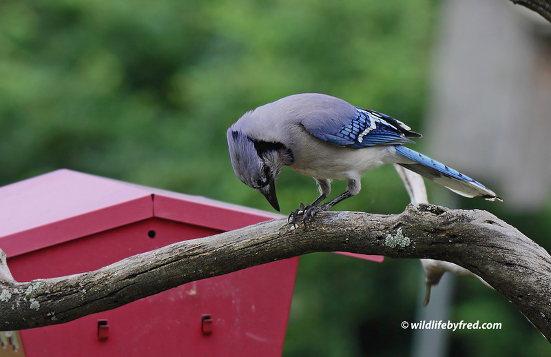 I started putting out egg shells a couple of years ago after reading an article about birds needing the calcium during egg laying. This Blue Jay has been a regular visitor to my back yard to eat some of the egg shells.
