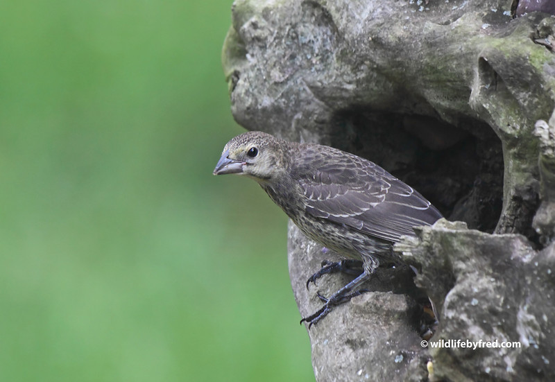 Juvenile Brown Headed Cowbird