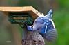 BLUE JAY--IT WAS FUN TO WATCH THE BLUE JAYS TRY AND GET THE SUET