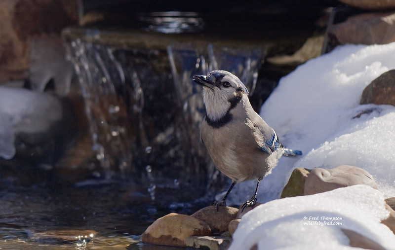 BLUE JAY GETTING A WINTER TIME DRINK