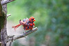 NORTHERN CARDINAL (AFTER A BATH HE IS SHAKING HIMSELF DRY)