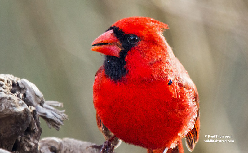 CARDINAL WITH A TICK IN jAN.