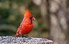 NORTHER CARDINAL (MALE)