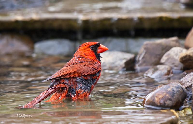 NORTHEN CARDINAL (MALE) TAKING A BATH