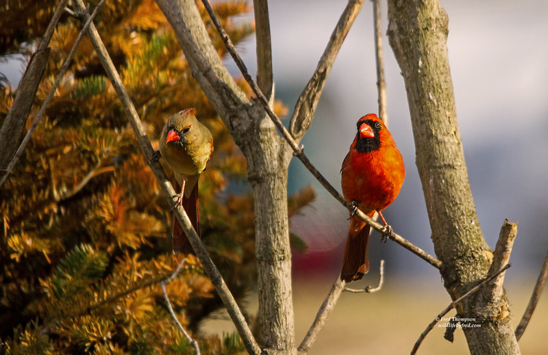 NORTHERN CARDINAL (MALE & FEMALE)