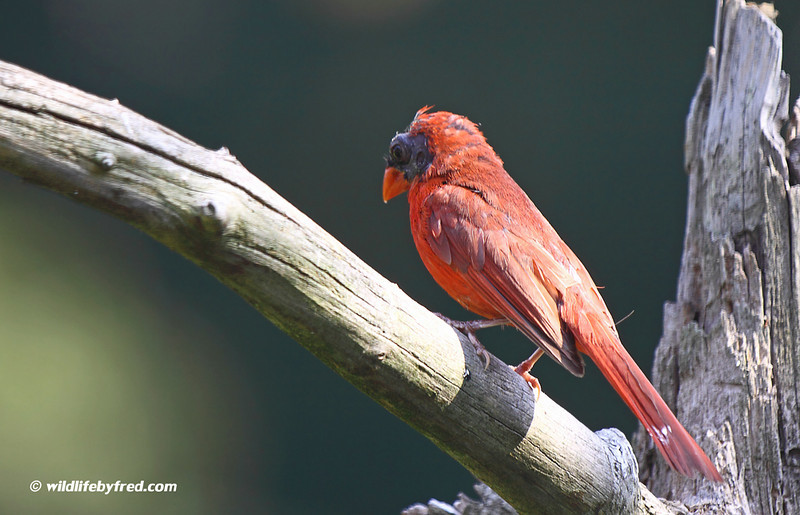 This is a unique Cardinal, if you look close it has no crest on the top of its head. It also has more black feathers than a normal cardinal.