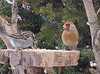 NORTHERN CARDINAL (FEMALE) & SPARROW