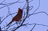 Back Lit Cardinal