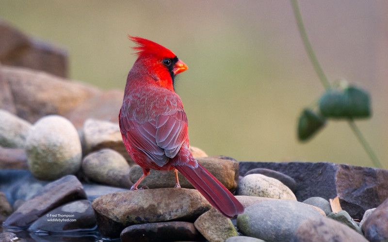 NORTHERN CARDINAL  (MALE) THIS IS PHOTO # 16,000 0N MY WEB SITE