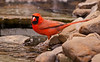 NORTHEN CARDINAL (MALE)